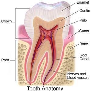 tooth-anatomy